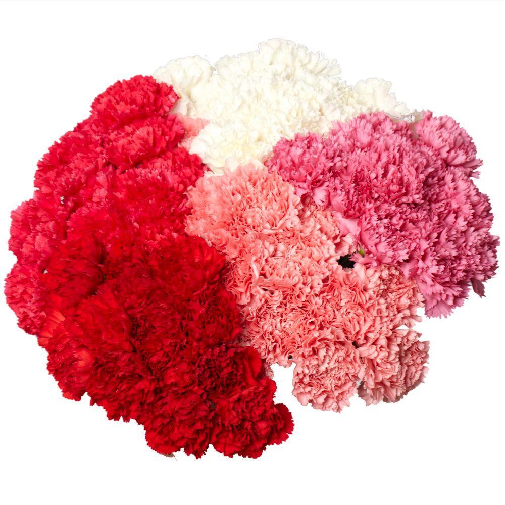 Globalrose Fresh Carnation Flowers for Valentine's Day (200 Stems)