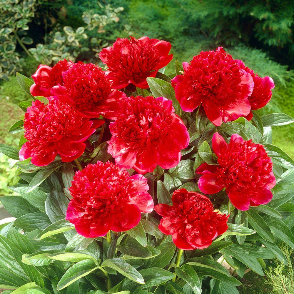 Bloomsz Red Charm Peony Roots (3-Pack)