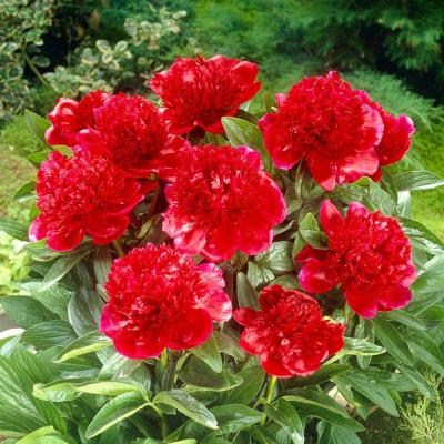 Red Charm Peony Roots (3-Pack)