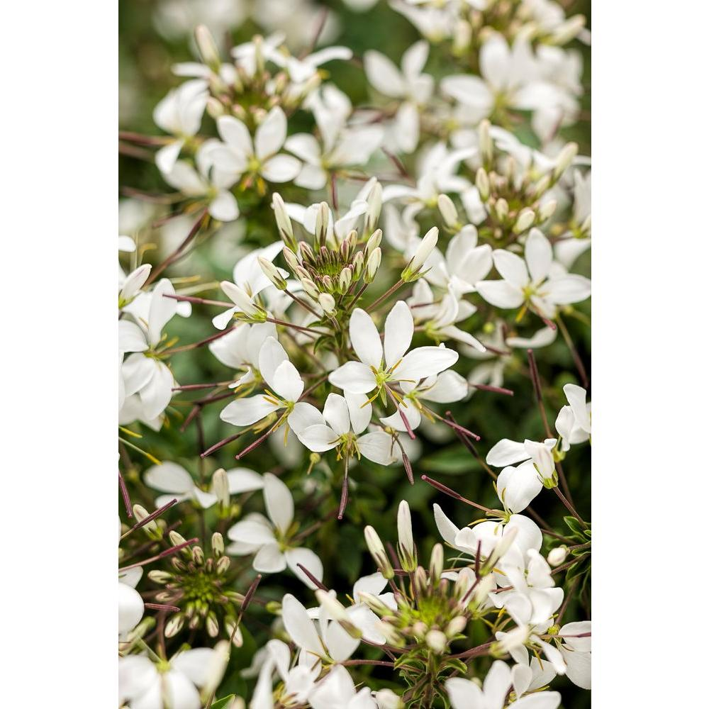 Proven Winners Senorita Blanca Spider Flower Cleome Live Plant