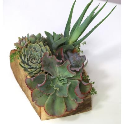 """12"""" Hand Carved Reclaimed Wood Centerpiece with Assorted Live Succulents - Magnolia"""