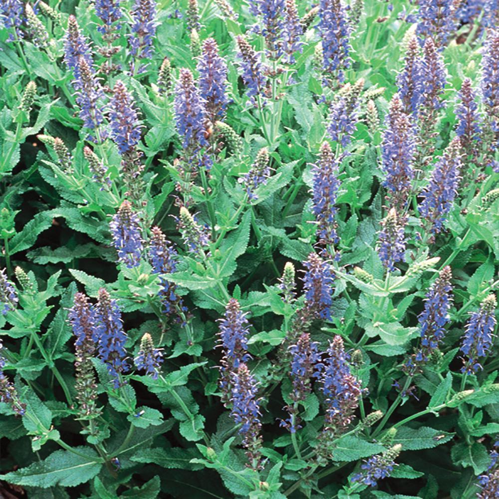 2.5 Qt. Sensation Sky Blue Salvia Sage Plant