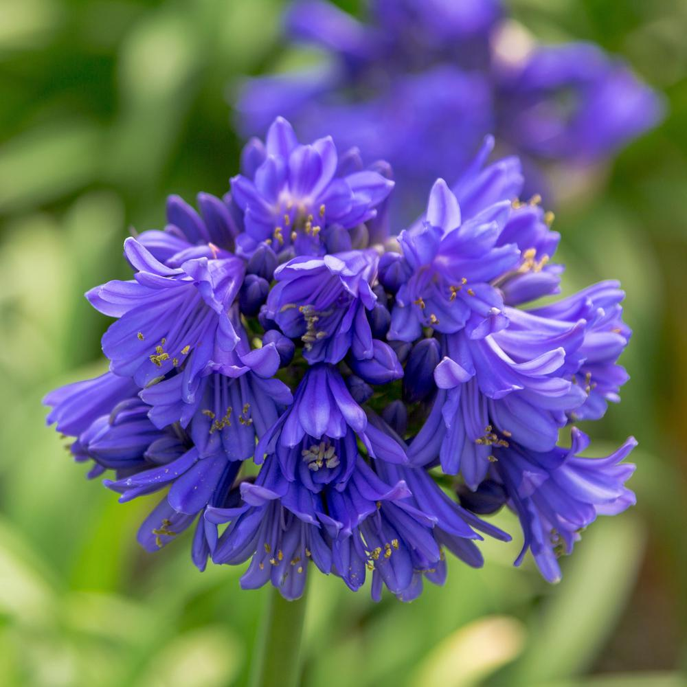 Southern Living Plant Collection 2 5 Qt Ever Midnight Agapanthus