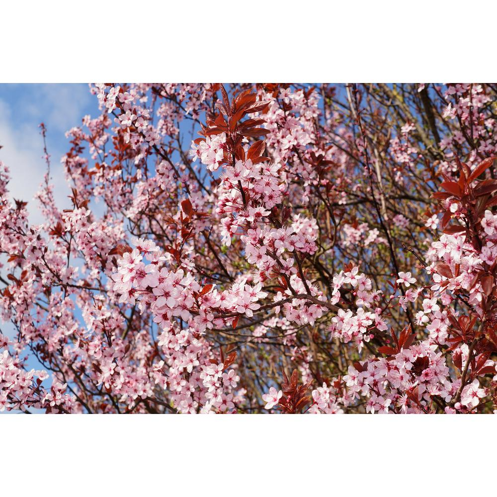 Online Orchards Thundercloud Flowering Plum Tree Bare Root
