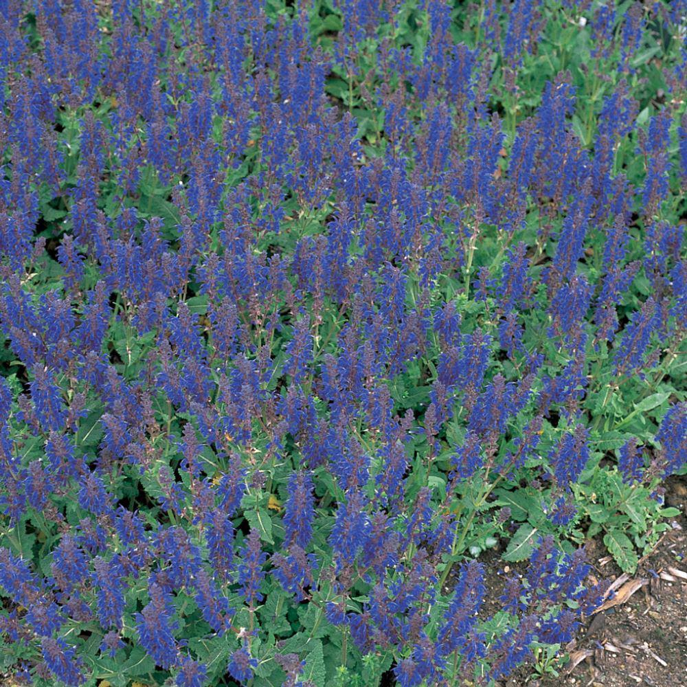 2.5 Qt. Sensation Deep Blue Sage Plant