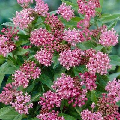 Support The Monarchs Pink Asclepias Cinderella Roots (3-Pack)