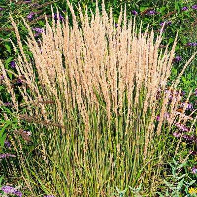 Reed Grass Garden Plants Flowers Garden Center The Home Depot