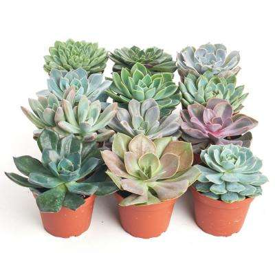 4 in. Rosette Succulent Collection Succulent (Collection of 12)