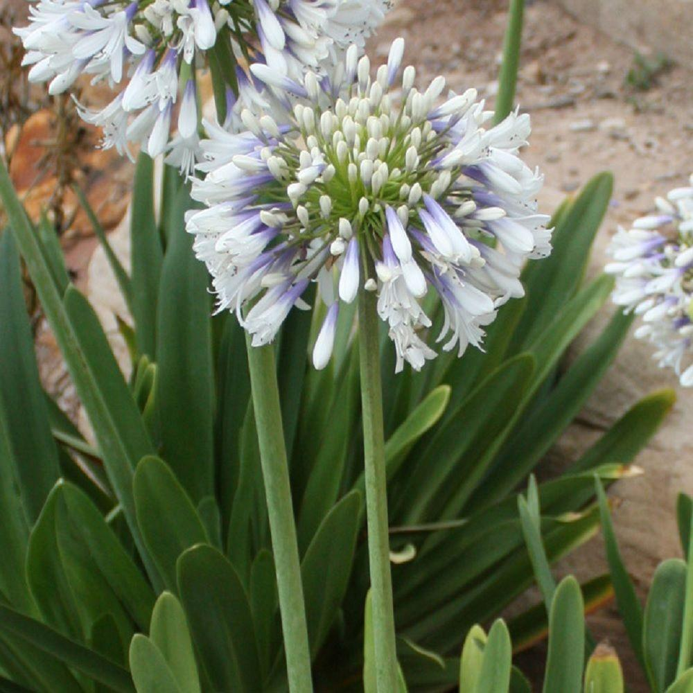 Flowering perennial white full sun perennials garden plants white and violet bloom clusters queen mum agapanthus live perennial plant mightylinksfo