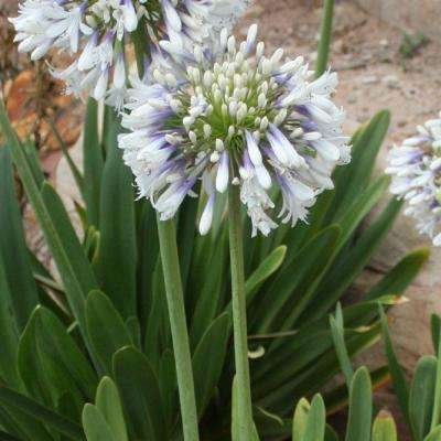 2.5 Qt. White and Violet Bloom Clusters - Queen Mum Agapanthus, Live Perennial Plant