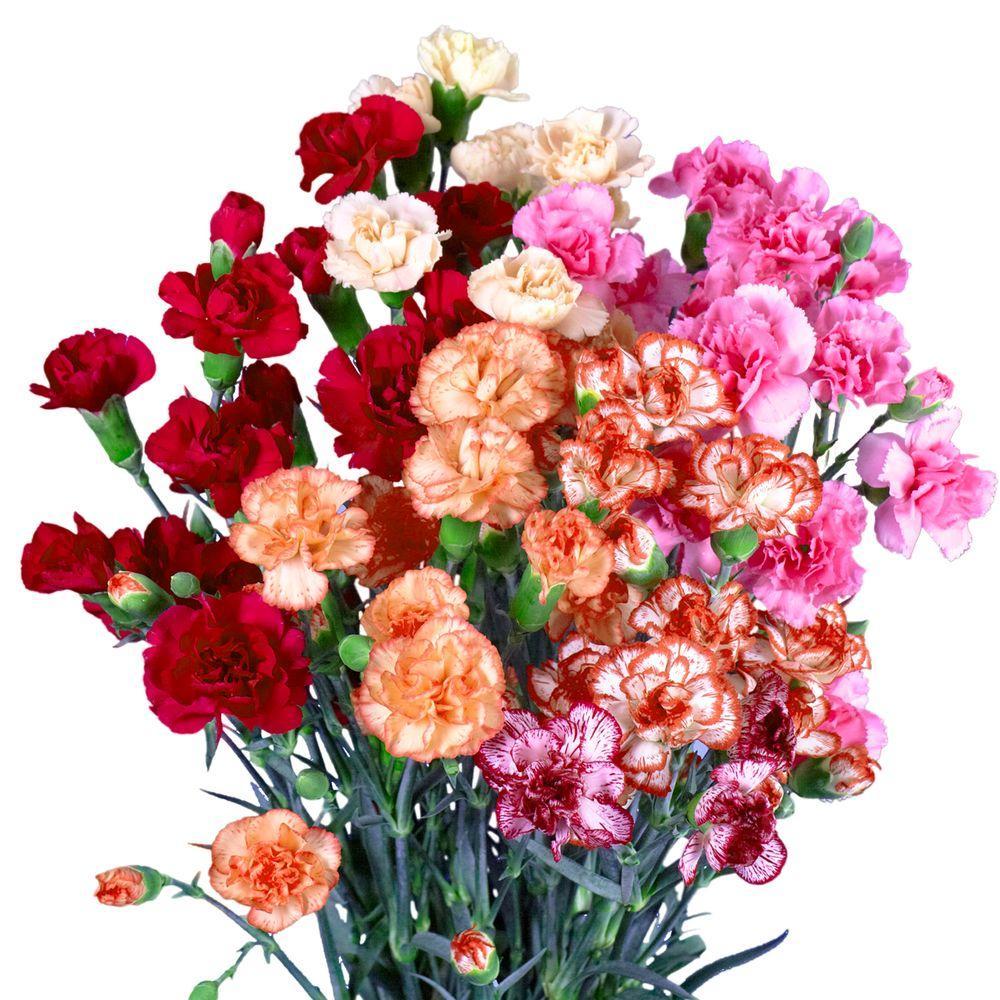 Globalrose Fresh Novelty Color Spray Carnations 160 Stems