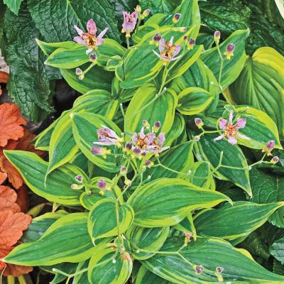 2 in. Pot Autumn Glow Toad Lily (Tricytris) Live Deciduous Plant Purple and Yellow Flowering Perennial (1-Pack)