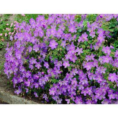 Geranium Johnson's Blue (Pack of 3)