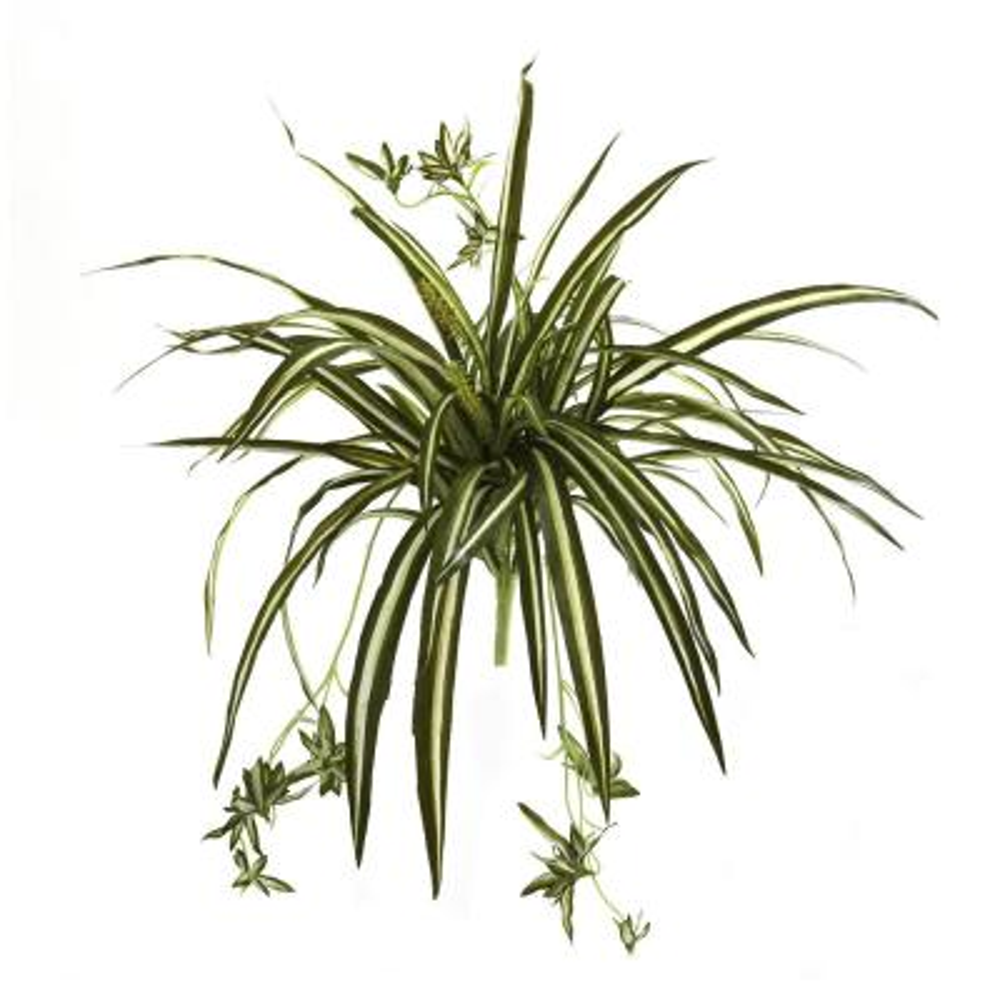 23 in. Spider Plant Bush (Set of 4)