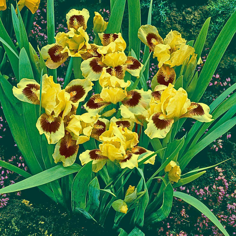 Ultimate Dwarf Bearded Iris Yellow and Mahogany Flowers Live Bareroot Plant