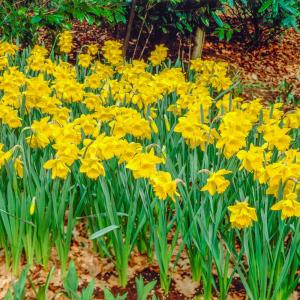 king alfred improved trumpet daffodil narcissus bulbs 100 87784