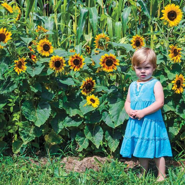 Sunflower Gurney's Sunny Hedge Blend (25 Seed Packet)