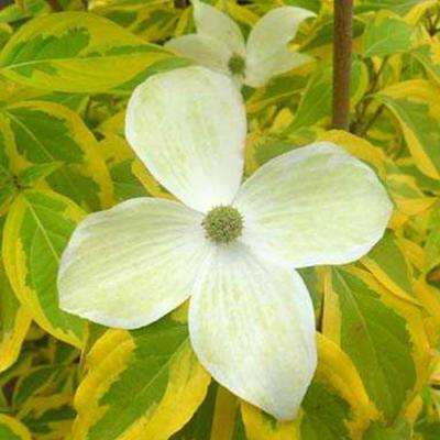 Summer Gold Dogwood (Cornus) Live Bareroot Ornamental Tree White Flowers (1-Pack)