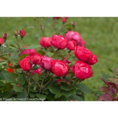 3 Gal. Oso Easy Double Red Landscape Rose (Rosa) Live Shrub, Red Flowers