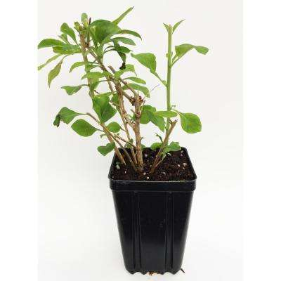 Proven Winners Sweet Lifeberry Goji Berry Fruit Bearing Potted Shrub