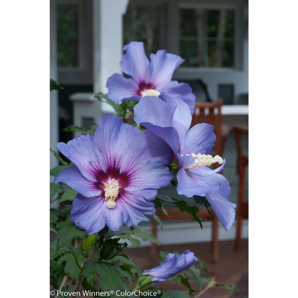 Azurri Blue Satin Rose of Sharon (Hibiscus) Live Shrub Blue  sc 1 st  Home Depot & Hibiscus - Shrubs - Trees \u0026 Bushes - The Home Depot