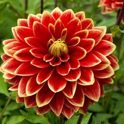 Caballero Dahlia Bulbs (3-Pack)