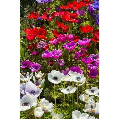 Anemone Coronaria Blend (Pack of 50)
