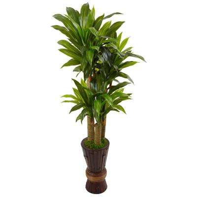 Indoor Cornstalk Dracaena Plant in Wooden Planter