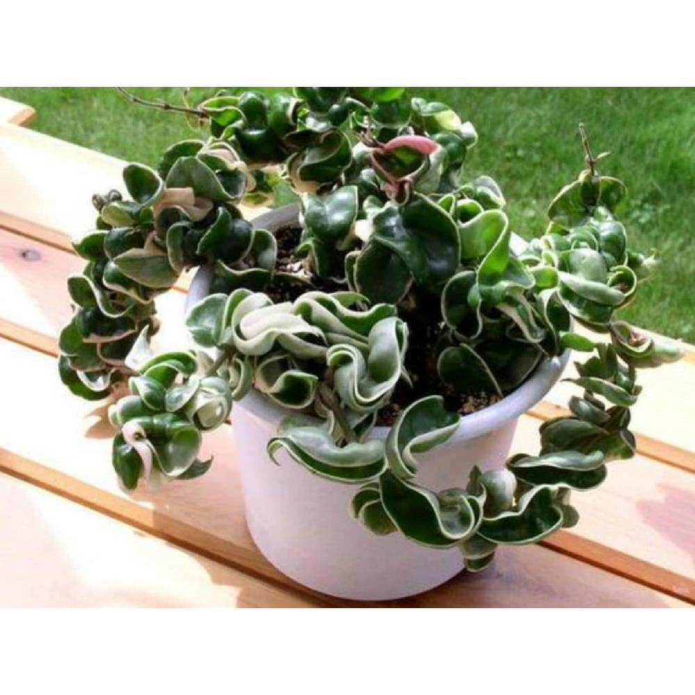 4 in. Hoya Hindu Rope Plant In Green Grower Pot (3-Pack)