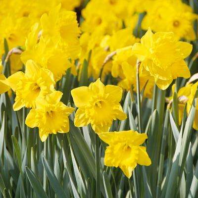 Yellow flower bulbs garden plants flowers the home depot daffodils bulbs colossal yellow trumpet set of 100 mammoth mightylinksfo