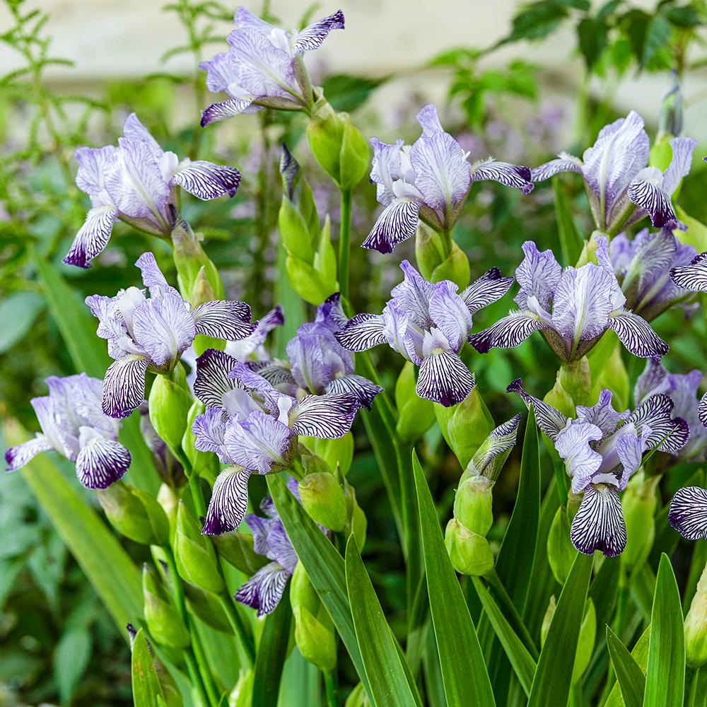 Spring Hill Nurseries Variegated Reginae Bearded Iris Live Bareroot
