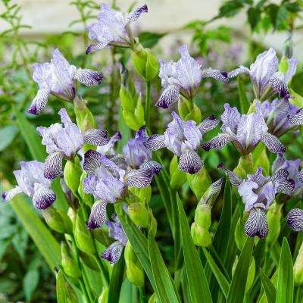 Purple flowering full sun perennials garden plants flowers variegated reginae bearded iris live bareroot plant purple white variegated flowering perennial mightylinksfo