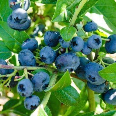 Northblue Blueberry (Vaccinium) Live Bareroot Fruiting Plant White Flowers with Green Foliage