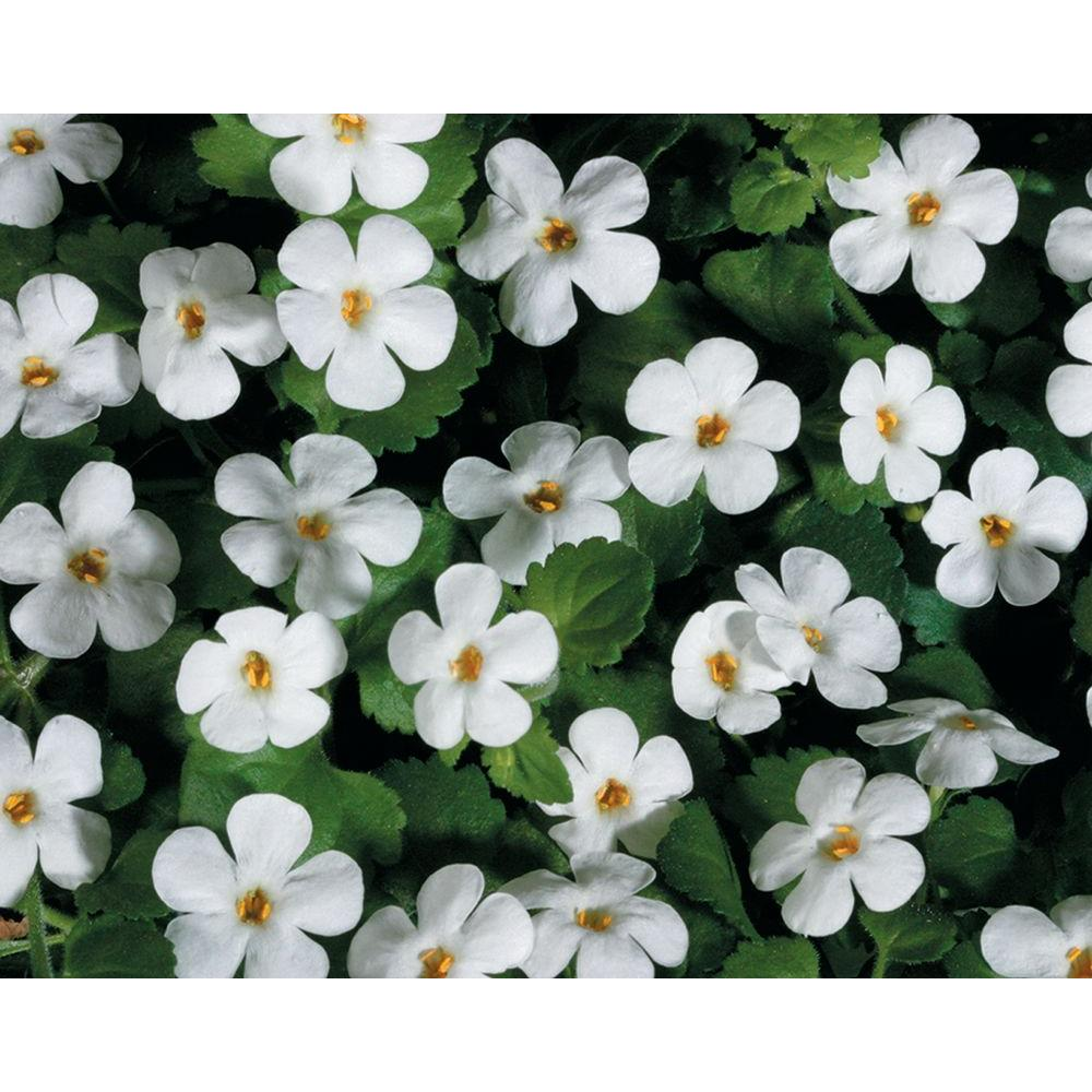 Part Sun White Annuals Garden Plants Flowers The Home Depot