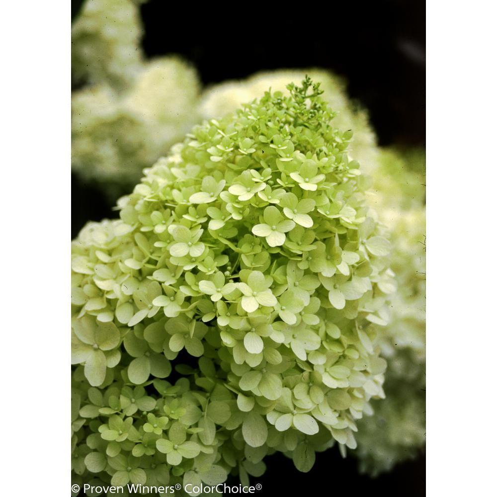 3 Gal. Limelight Hardy Hydrangea (Paniculata) Live Shrub, Green to Pink Flowers
