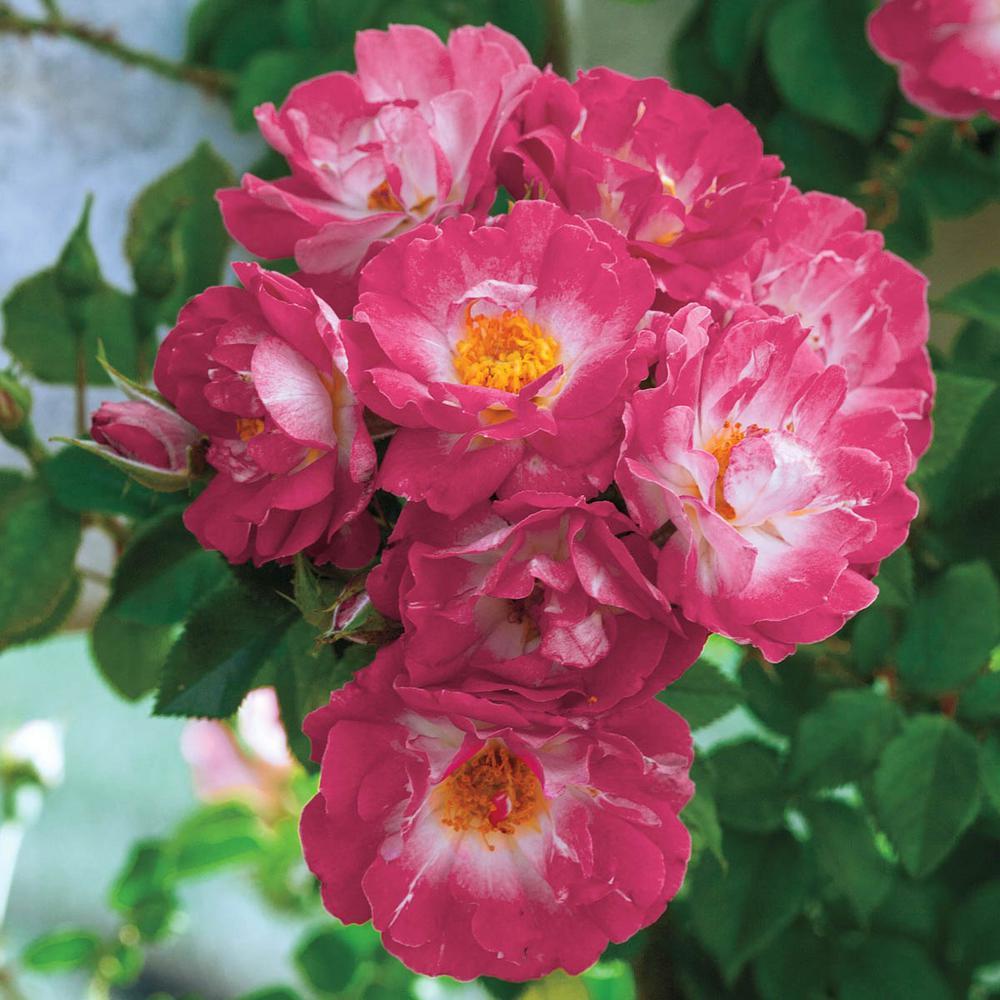 Spring Hill Nurseries Cupids Kisses Miniature Rose Live Bareroot
