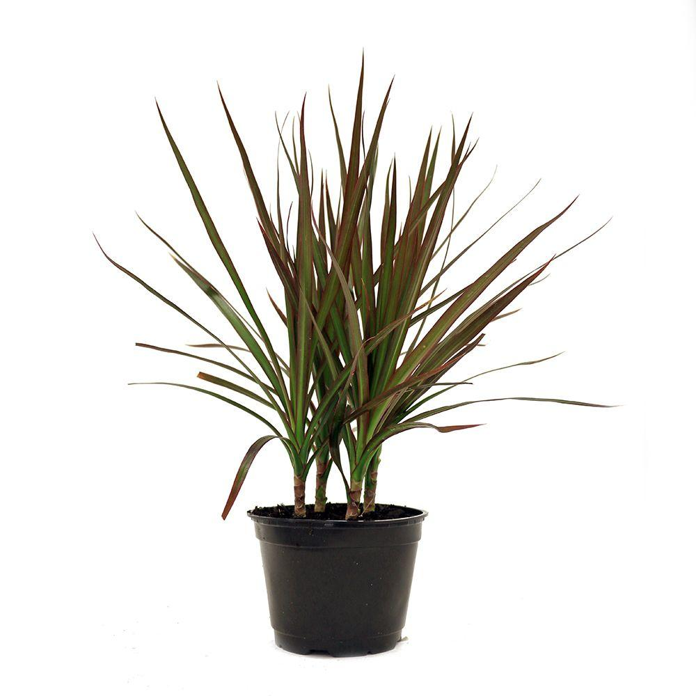 Delray plants dracaena marginata in 6 in pot 6marg the for Plante dracaena
