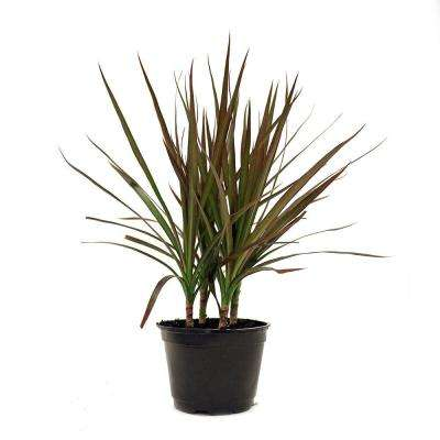Dracaena Marginata in 6 in. Pot