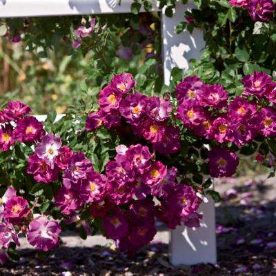 Stormy Weather Climbing Rose, Live Bareroot Plant, Purple Color Flowers (1-Pack)