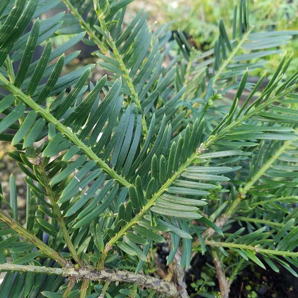 9 25 In Pot Plum Yew Spreading Live Evergreen Shrub Dark