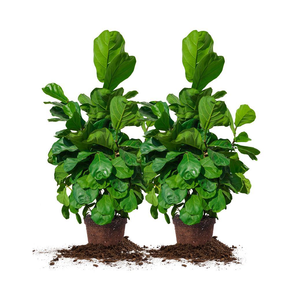 3 Gal. Fiddle Leaf Fig Plant (2-Pack)