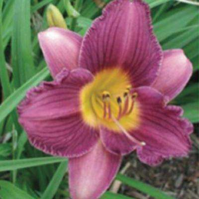2.5 Qt. Purple De Oro Daylily, Live Perennial Plant, Purple Blooms with Yellow Throats