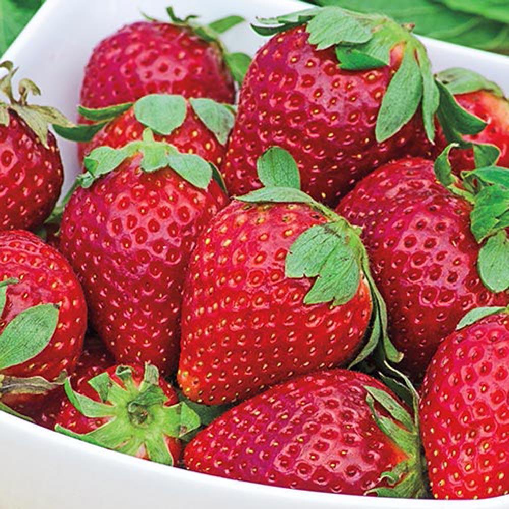 Earliglow Junebearing Strawberry Bareroot Plants (25-Pack)