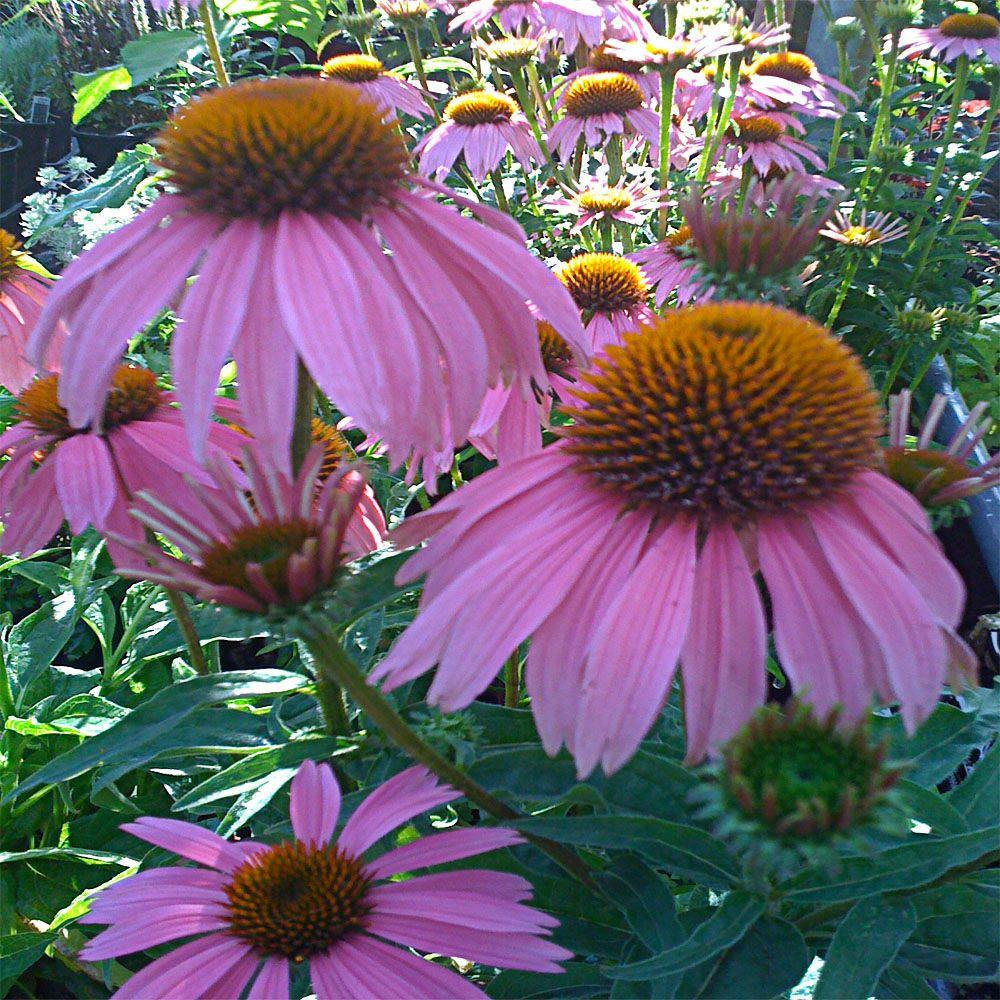 1 Gal. Magnus Purple Coneflower Plant