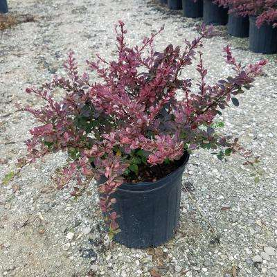 2.4 Gal. #3 Rose Glow Barberry Shrub with Mottled Red and White-Pink Foliage