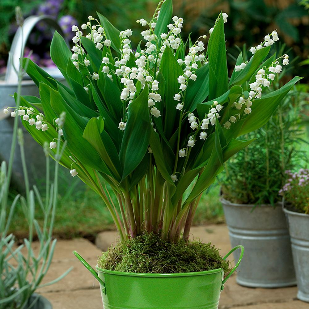 Van Zyverden Patio Lily Of The Valley With Green Metal Planter And