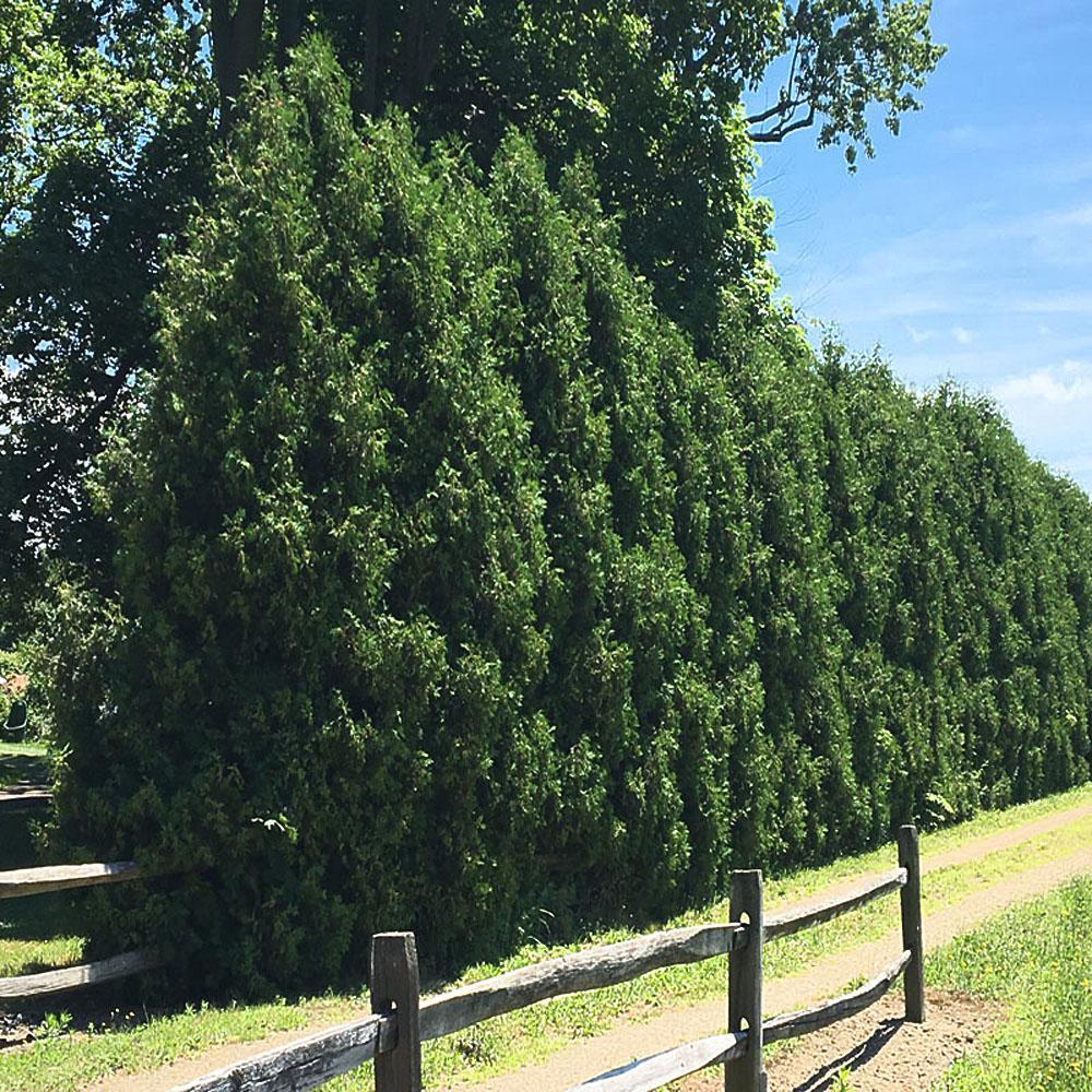 3 Gal. Dark Green Arborvitae Shrub
