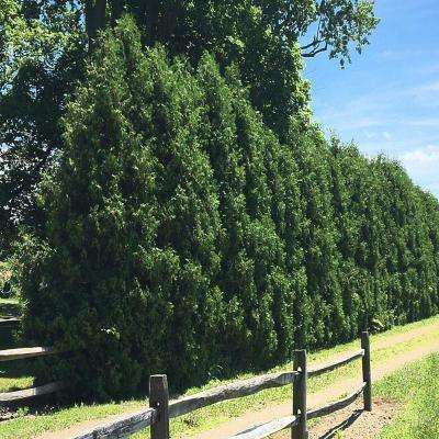 3 Gal. Dark Green Arborvitae Shrub