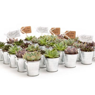 2 in. Wedding Event Rosette Succulents Plant with Tin Metal Pails and Let Love Grow Tags (60-Pack)