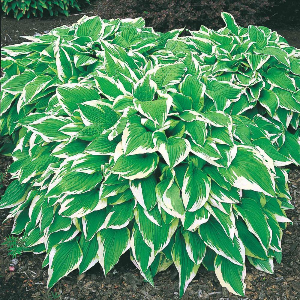 Hosta White Garden Plants Flowers Garden Center The Home Depot